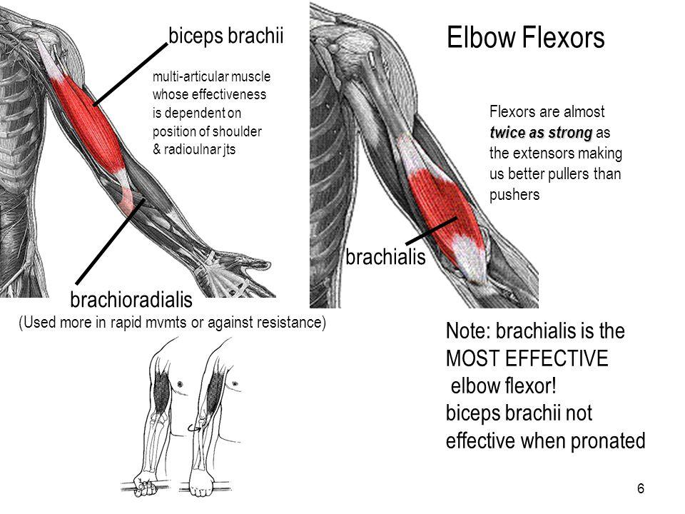 Elbow Flexors biceps brachii brachialis brachioradialis