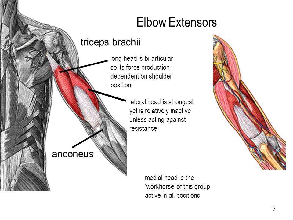 Elbow Extensors triceps brachii anconeus long head is bi-articular