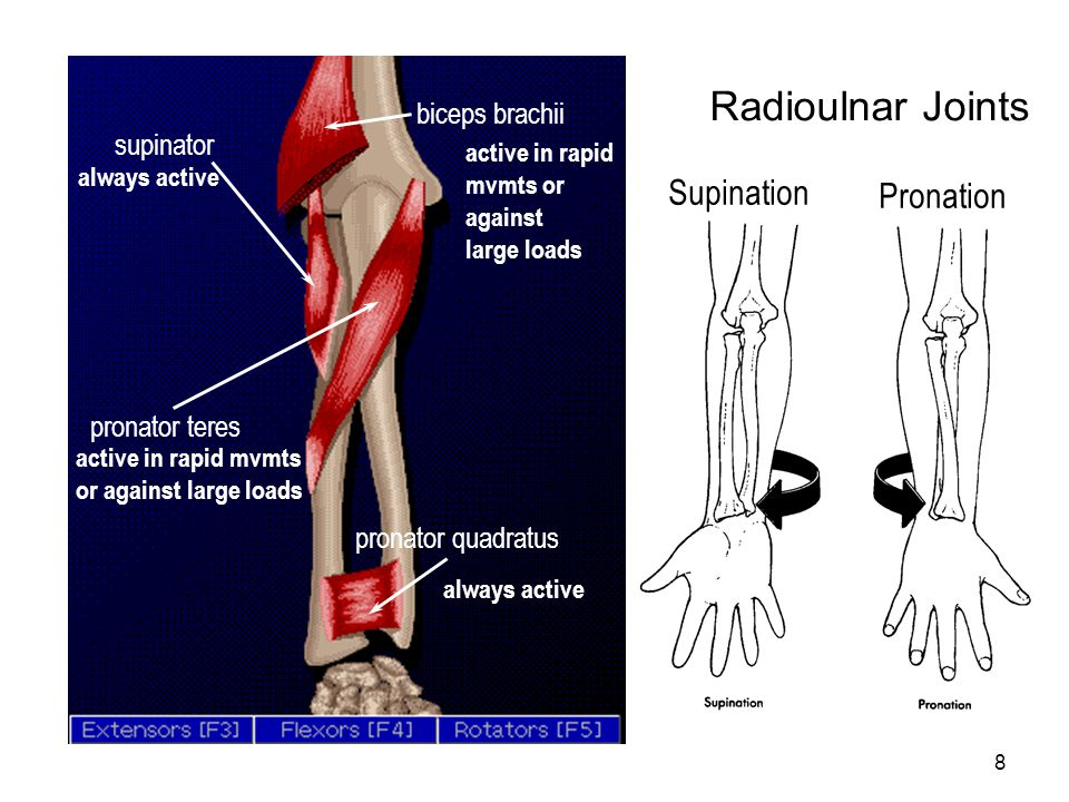 Radioulnar Joints Supination Pronation biceps brachii supinator