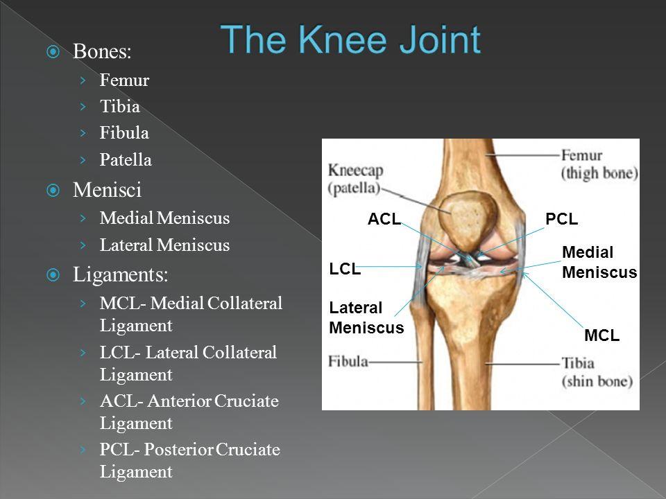 The Knee Joint Bones: Menisci Ligaments: Femur Tibia Fibula Patella