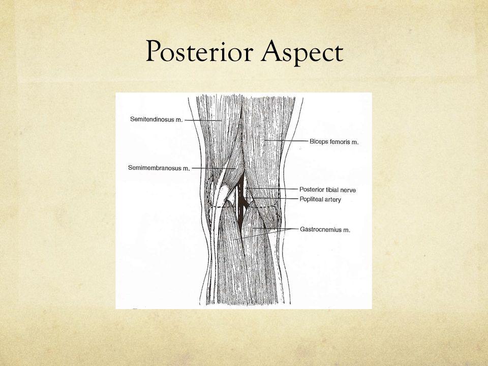 Posterior Aspect