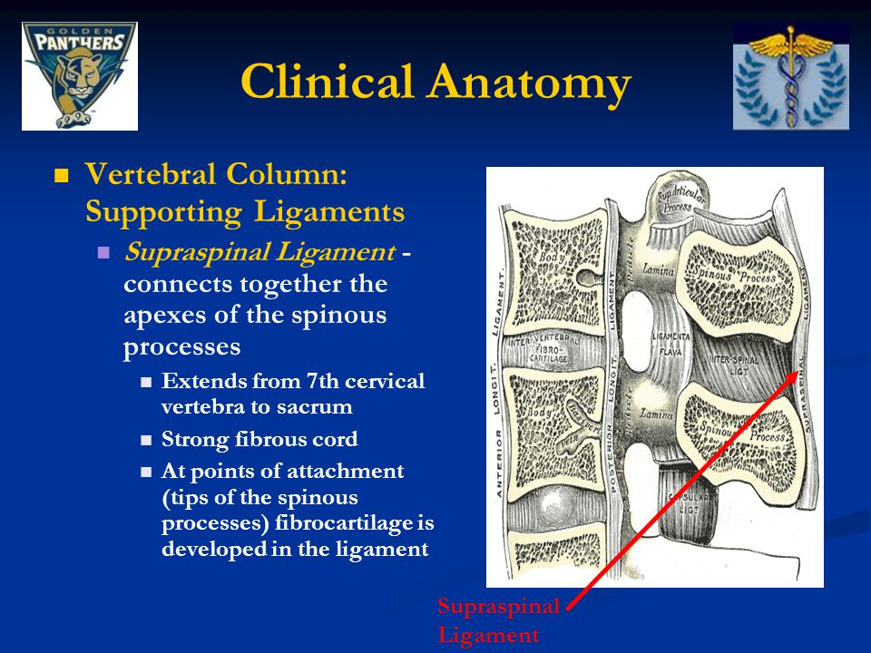 Clinical Anatomy Vertebral Column: Supporting Ligaments