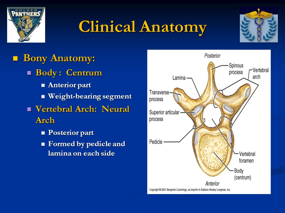 Clinical Anatomy Bony Anatomy: Body : Centrum