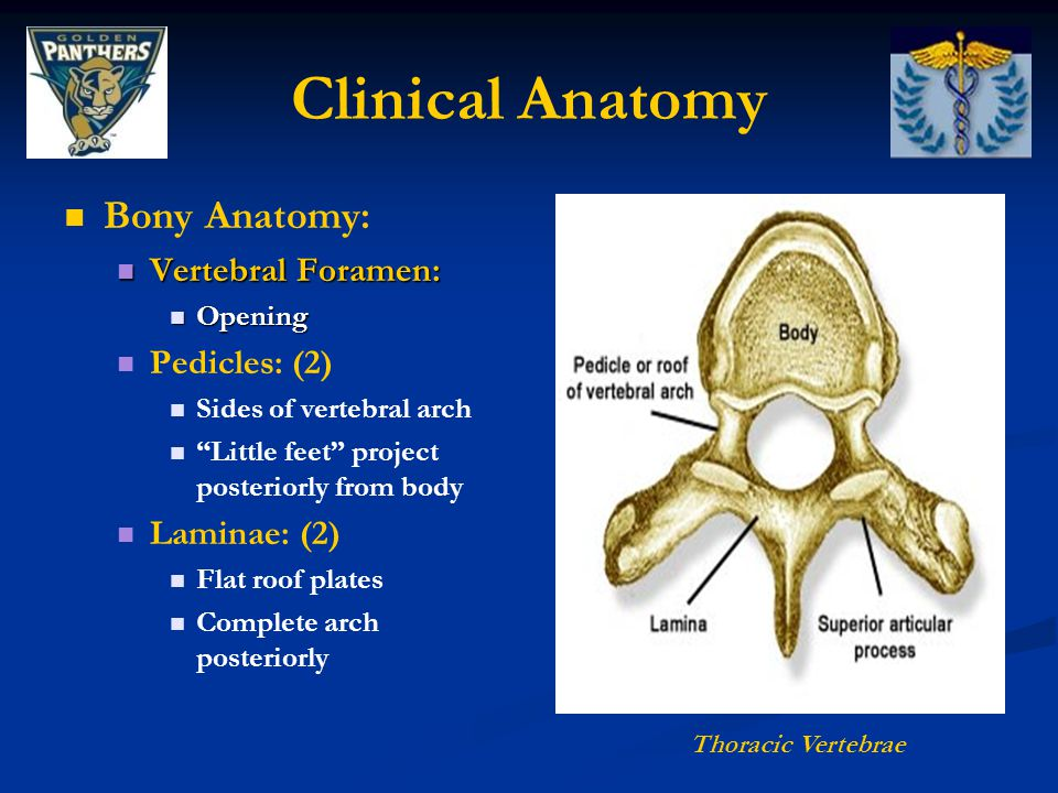 Clinical Anatomy Bony Anatomy: Vertebral Foramen: Pedicles: (2)