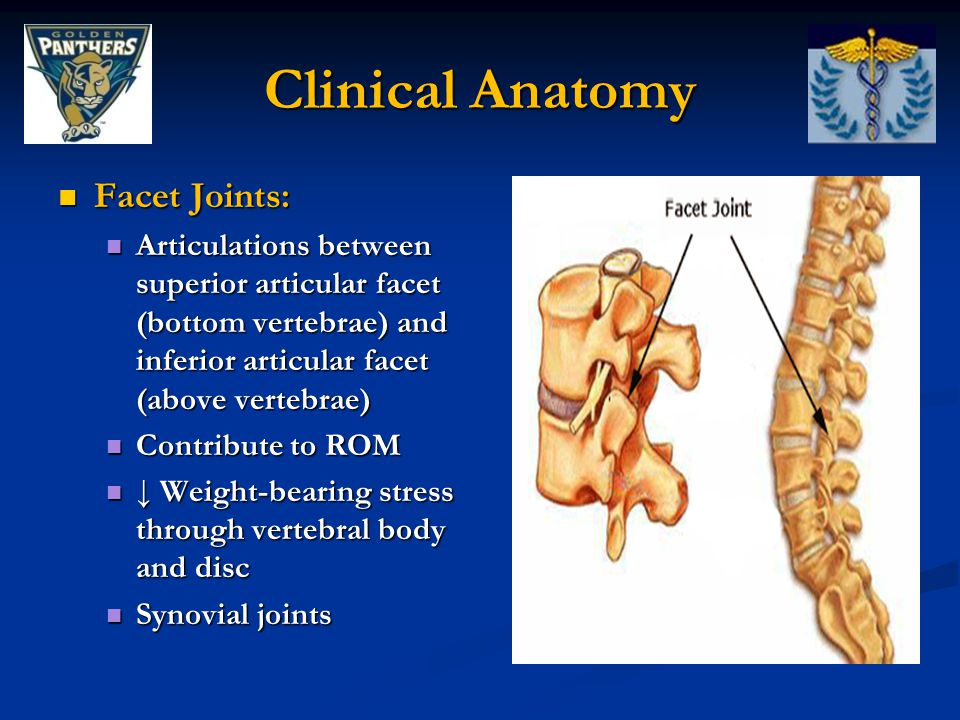 Clinical Anatomy Facet Joints:
