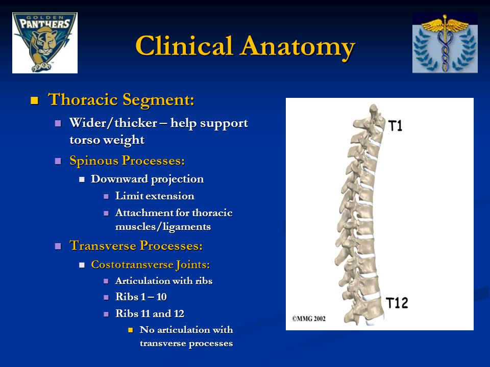 Clinical Anatomy Thoracic Segment: