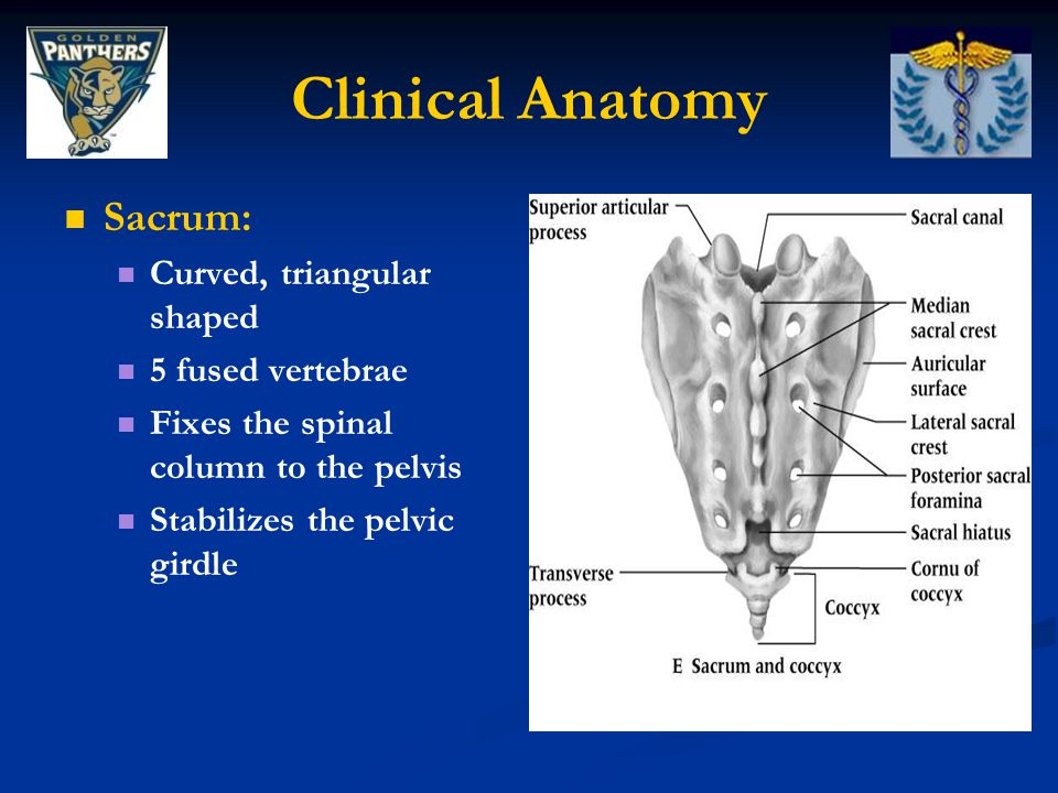 Clinical Anatomy Sacrum: Curved, triangular shaped 5 fused vertebrae