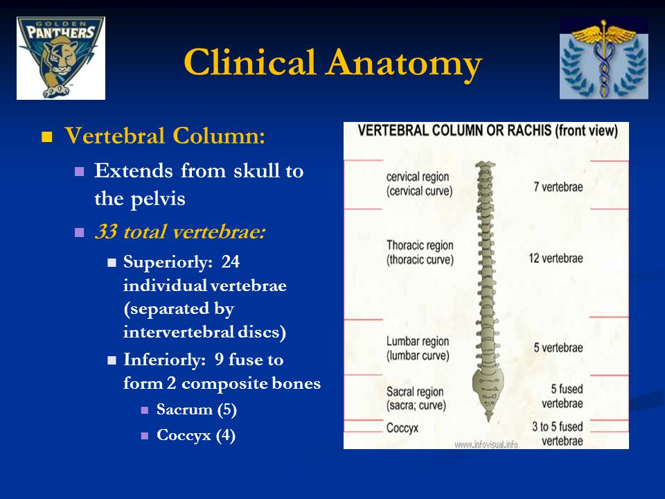 Clinical Anatomy Vertebral Column: Extends from skull to the pelvis