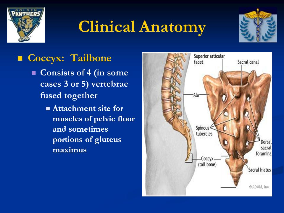 Clinical Anatomy Coccyx: Tailbone
