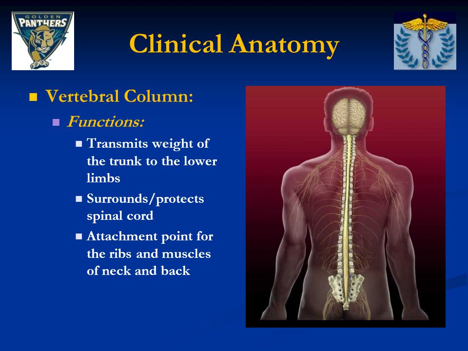 Clinical Anatomy Vertebral Column: Functions: