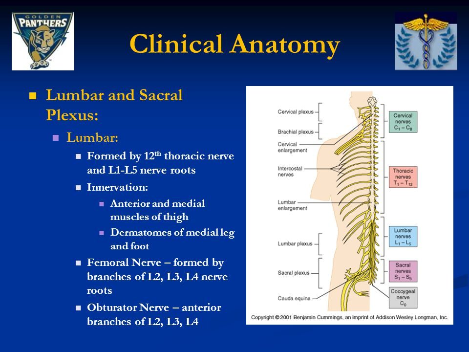 Clinical Anatomy Lumbar and Sacral Plexus: Lumbar: