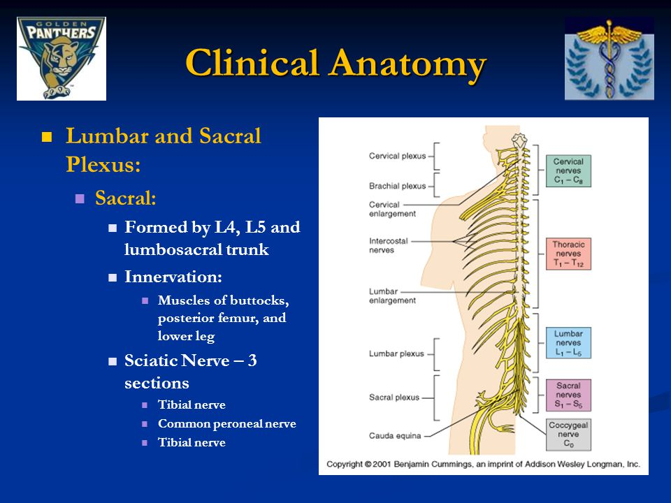 Clinical Anatomy Lumbar and Sacral Plexus: Sacral: