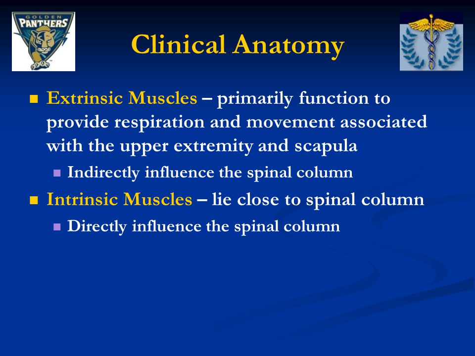 Clinical Anatomy Extrinsic Muscles – primarily function to provide respiration and movement associated with the upper extremity and scapula.