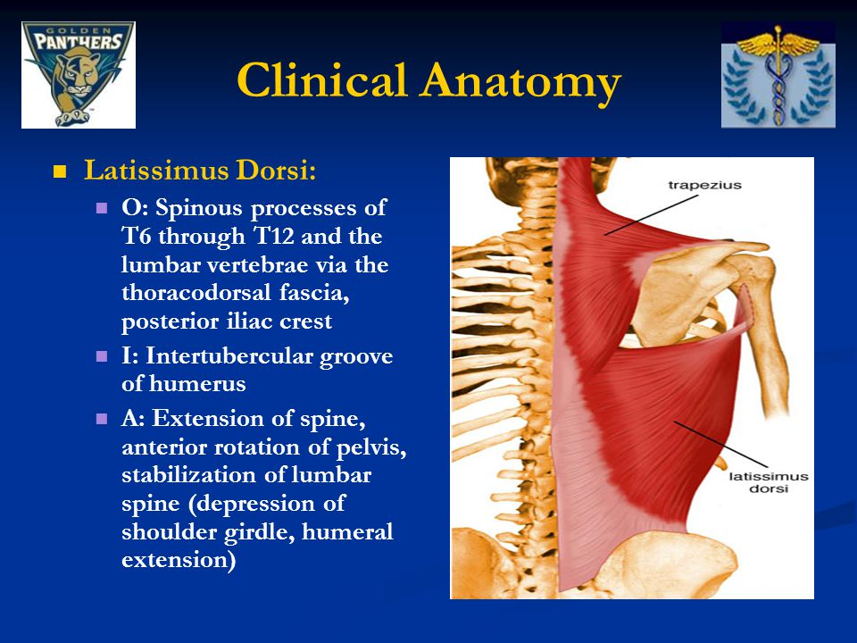 Clinical Anatomy Latissimus Dorsi: