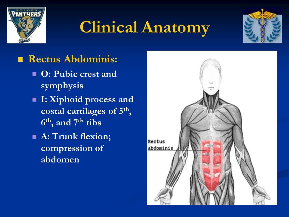 Clinical Anatomy Rectus Abdominis: O: Pubic crest and symphysis