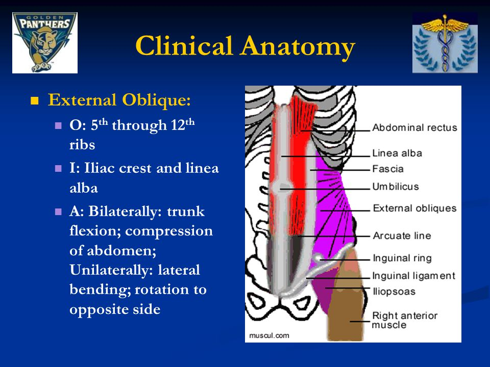 Clinical Anatomy External Oblique: O: 5th through 12th ribs