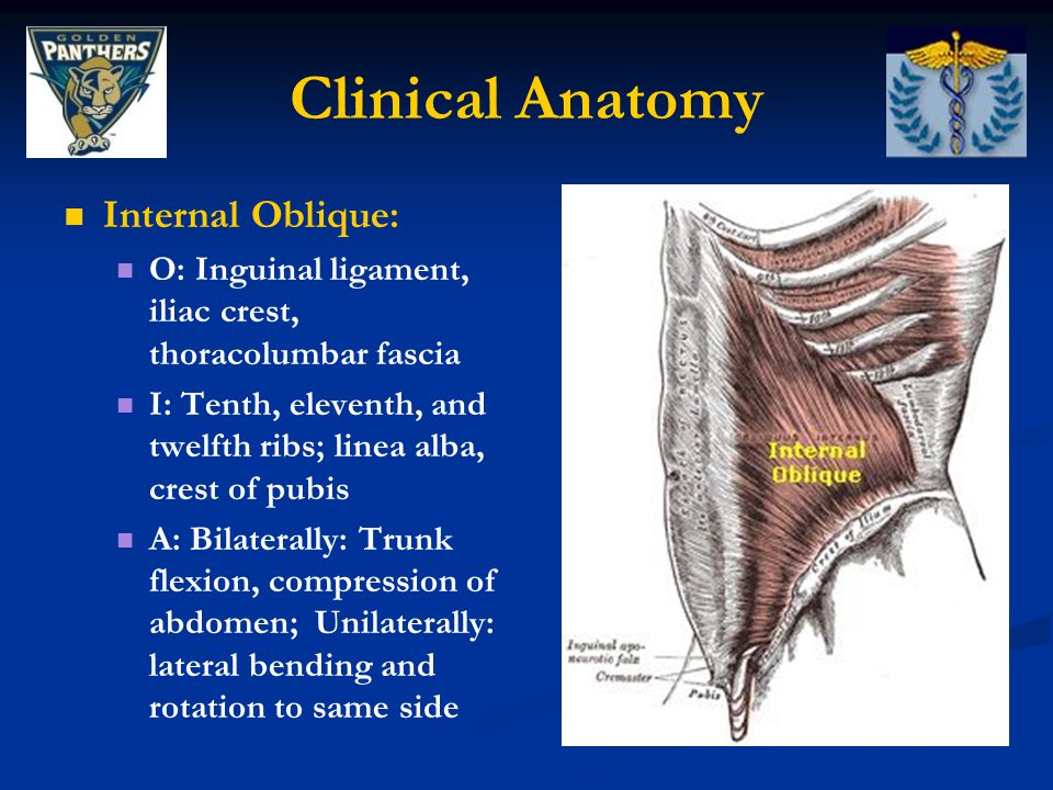 Clinical Anatomy Internal Oblique: