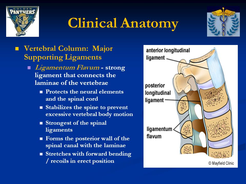 Clinical Anatomy Vertebral Column: Major Supporting Ligaments