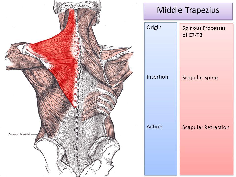 Middle Trapezius Spinous Processes of C7-T3 Origin Scapular Spine