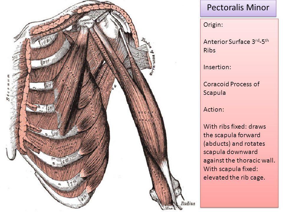 Pectoralis Minor Origin: Anterior Surface 3rd-5th Ribs Insertion: