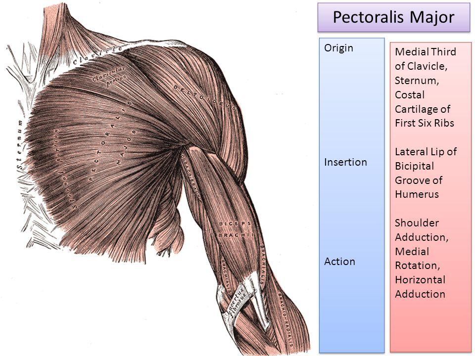 Pectoralis Major Origin