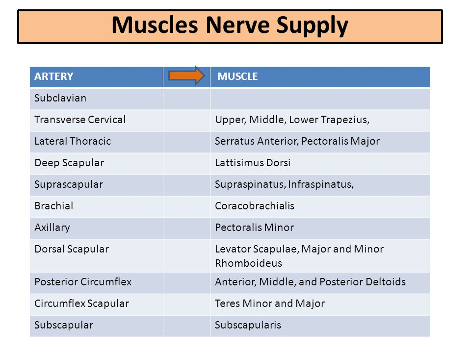 Muscles Nerve Supply ARTERY MUSCLE Subclavian Transverse Cervical