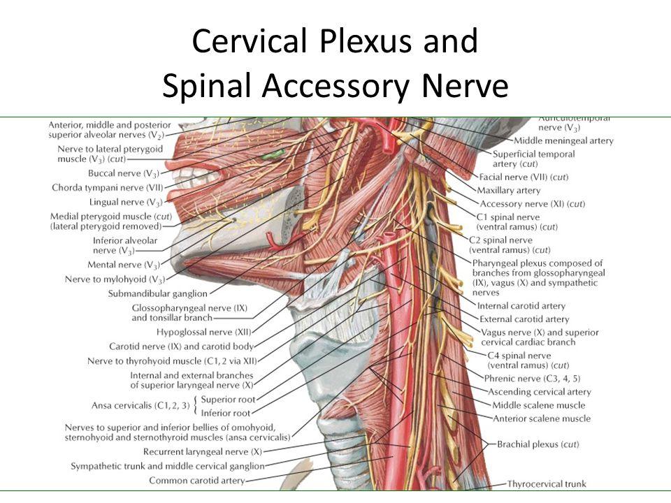 Cervical Plexus and Spinal Accessory Nerve