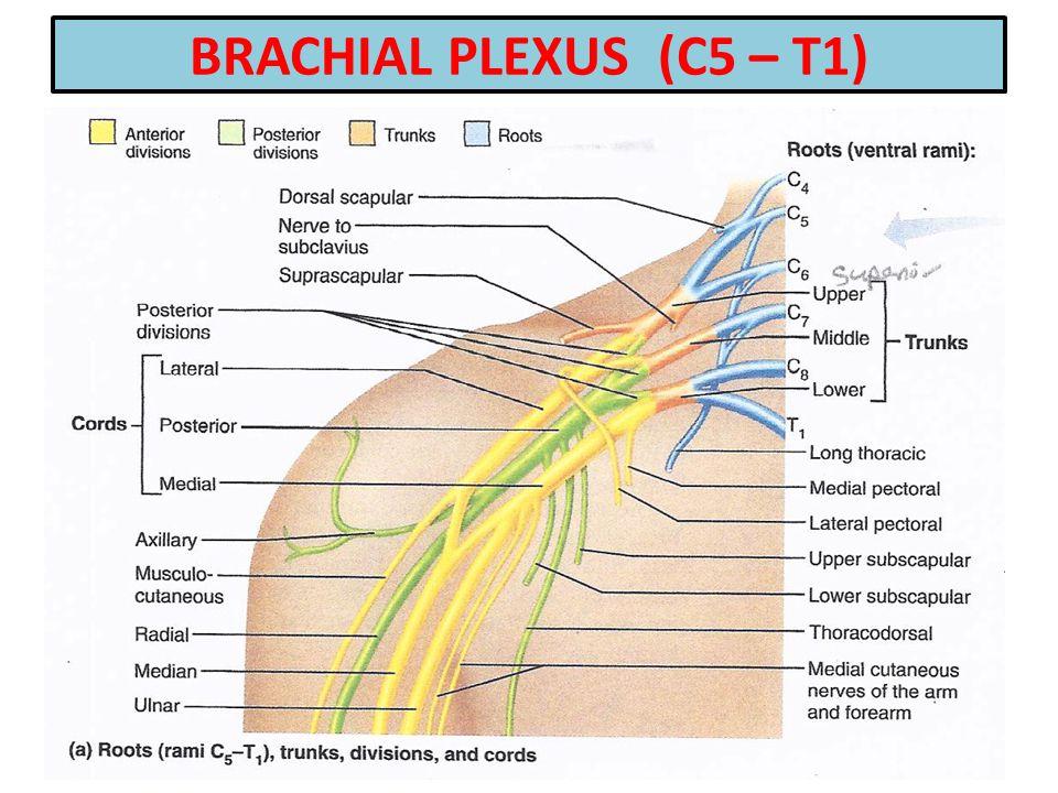 BRACHIAL PLEXUS (C5 – T1)