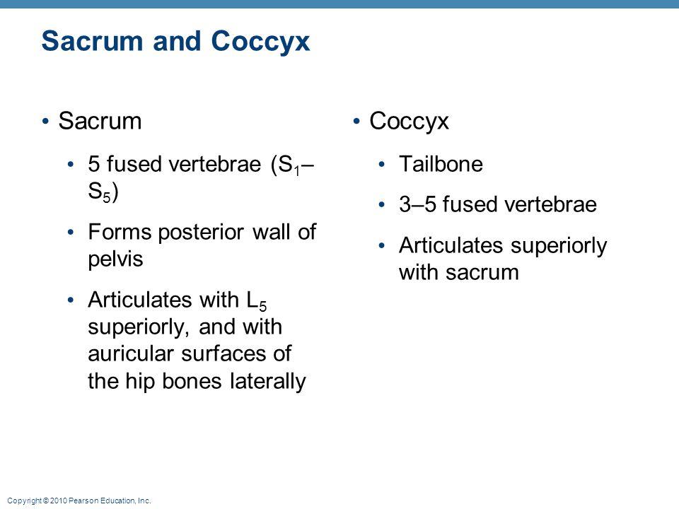 Sacrum and Coccyx Sacrum Coccyx 5 fused vertebrae (S1–S5)