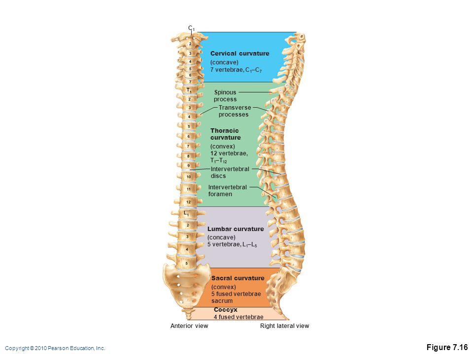 Figure 7.16 C1 Cervical curvature (concave) 7 vertebrae, C1–C7 Spinous