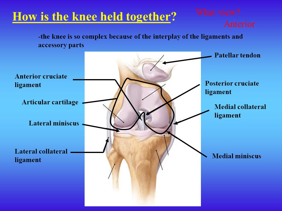How is the knee held together