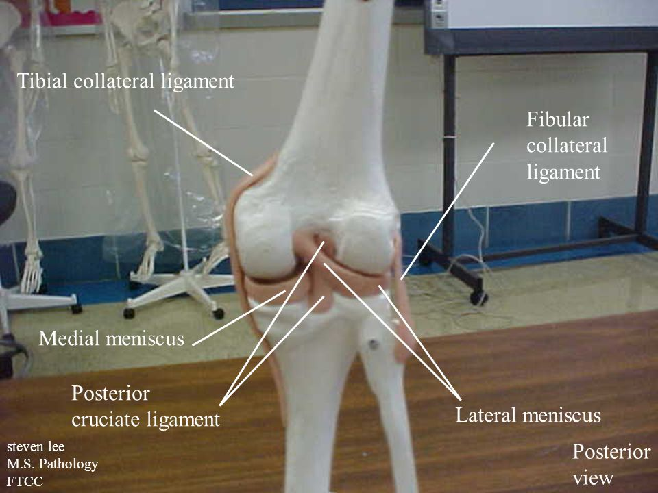 Tibial collateral ligament