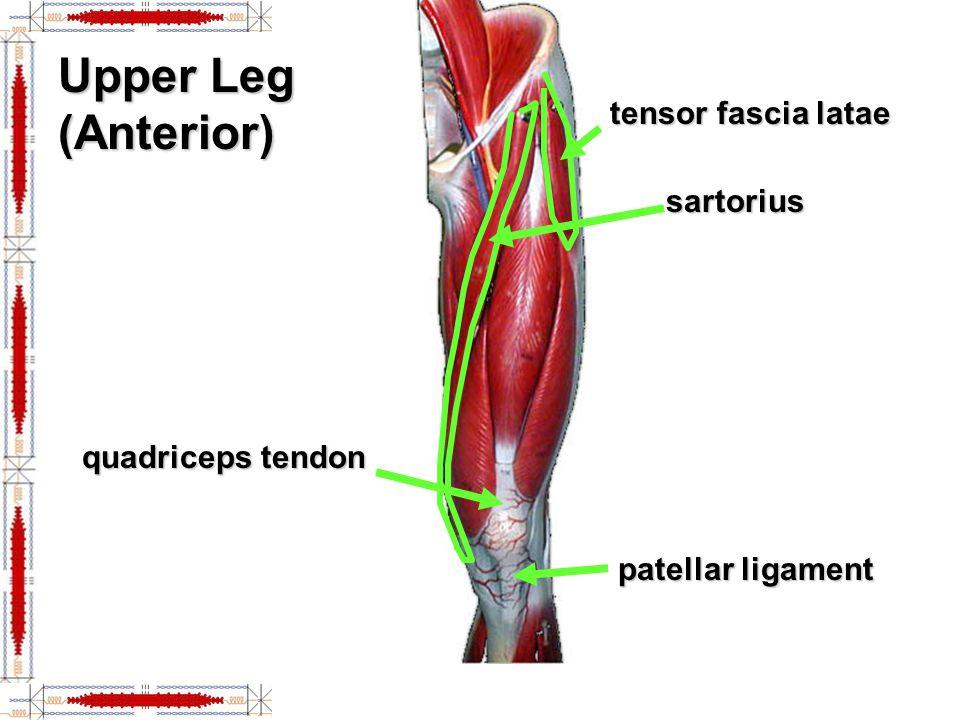 Upper Leg (Anterior) tensor fascia latae sartorius quadriceps tendon