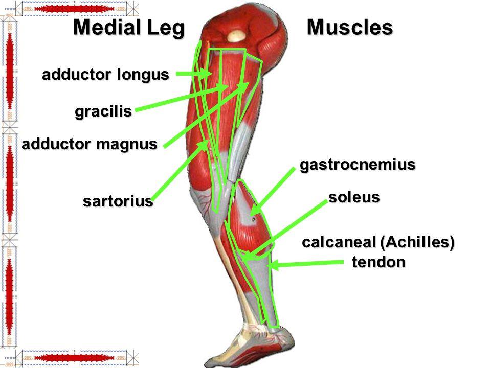 calcaneal (Achilles) tendon