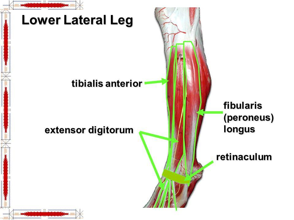 Lower Lateral Leg tibialis anterior fibularis (peroneus) longus