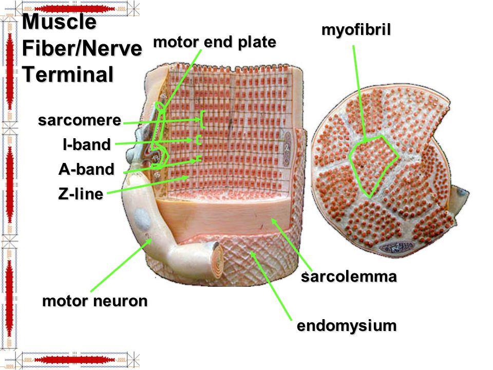 Muscle Fiber/Nerve Terminal