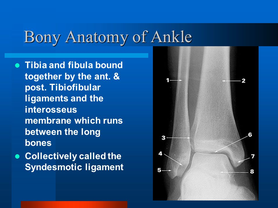Bony Anatomy of Ankle
