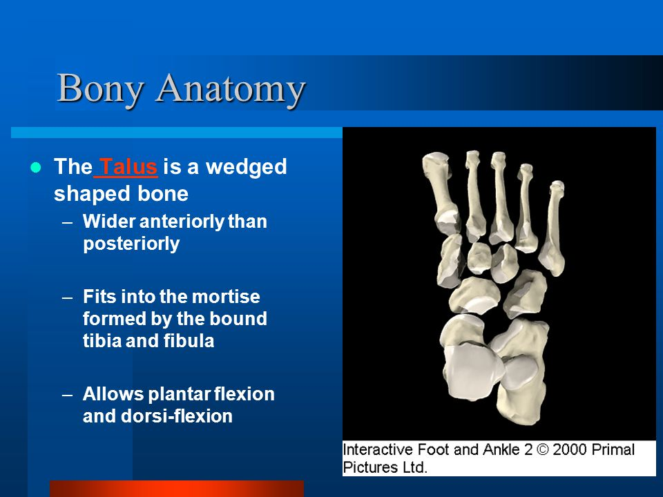 Bony Anatomy The Talus is a wedged shaped bone