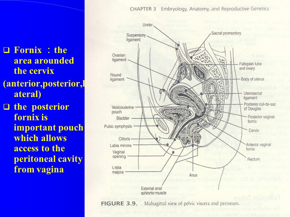 Fornix :the area arounded the cervix