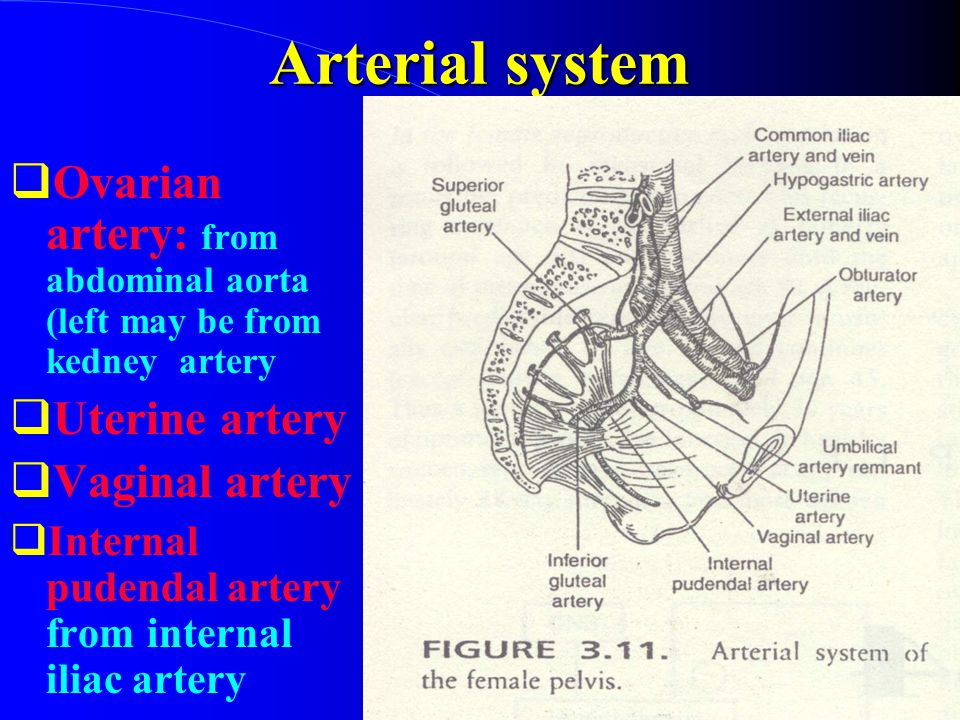 Arterial system Ovarian artery: from abdominal aorta (left may be from kedney artery. Uterine artery.