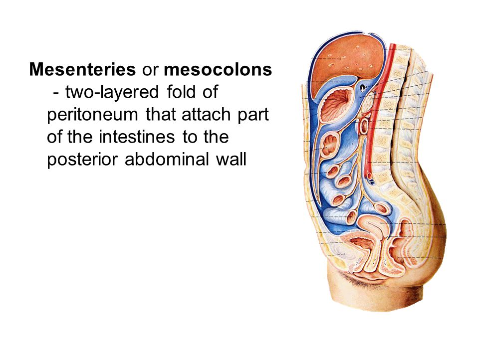 Mesenteries or mesocolons-two-layered fold of peritoneum that attach part of the intestines to the posterior abdominal wall