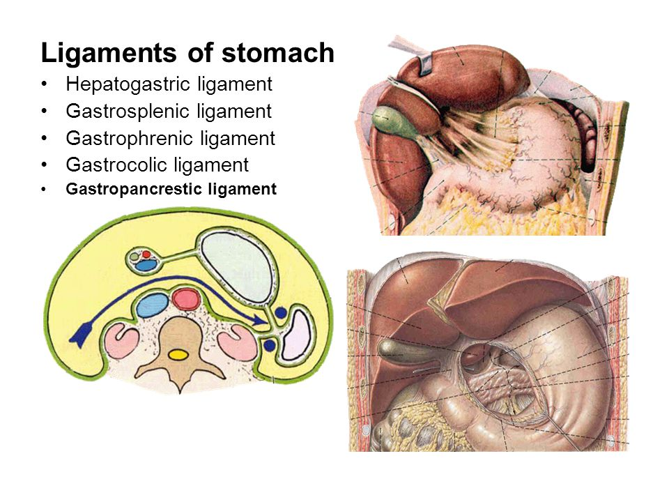 Ligaments of stomach Hepatogastric ligament Gastrosplenic ligament