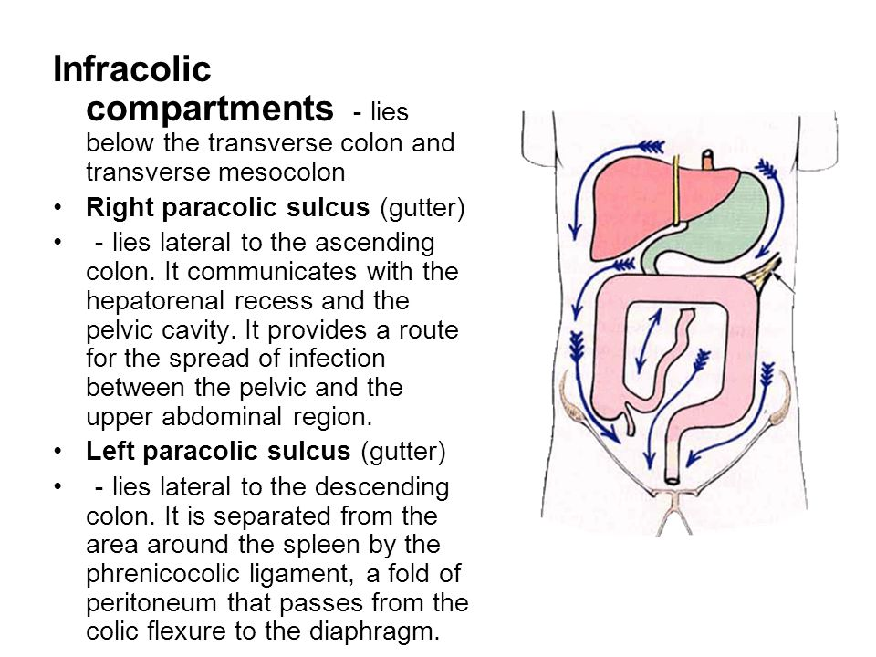Infracolic compartments -lies below the transverse colon and transverse mesocolon