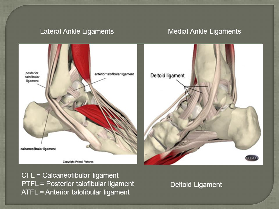 Lateral Ankle Ligaments Medial Ankle Ligaments