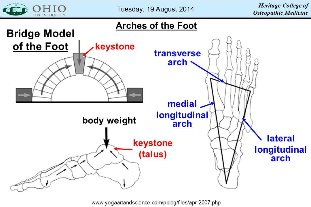 Bridge Model of the Foot