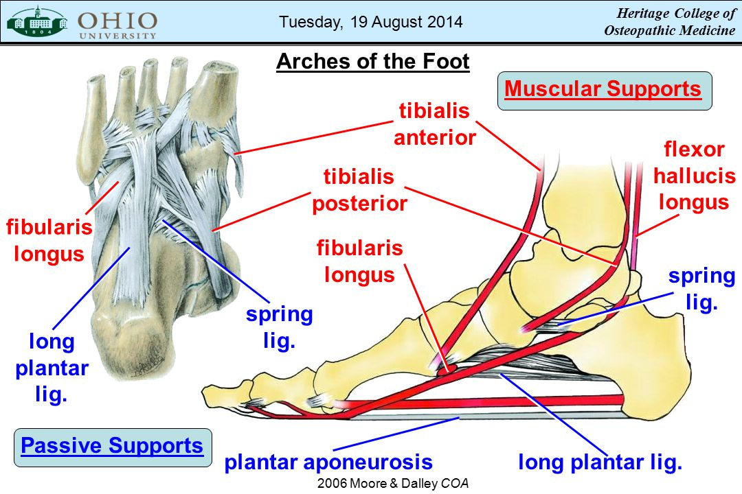 Arches of the Foot Muscular Supports tibialis anterior flexor hallucis