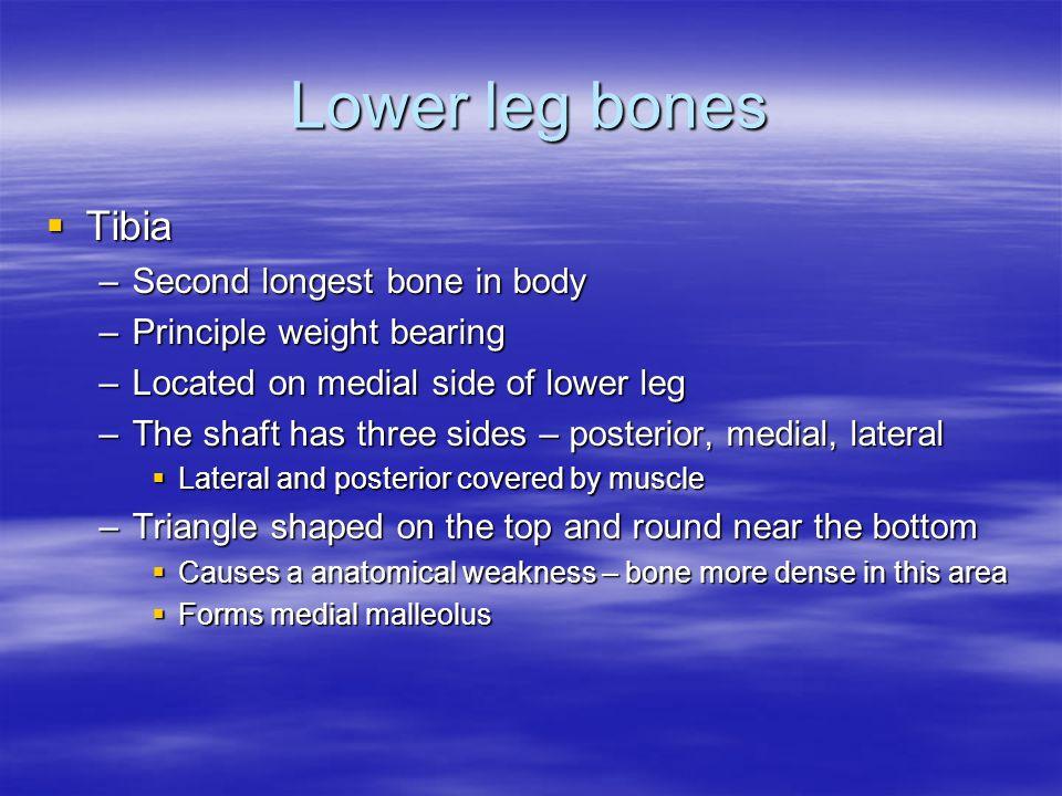 Lower leg bones Tibia Second longest bone in body