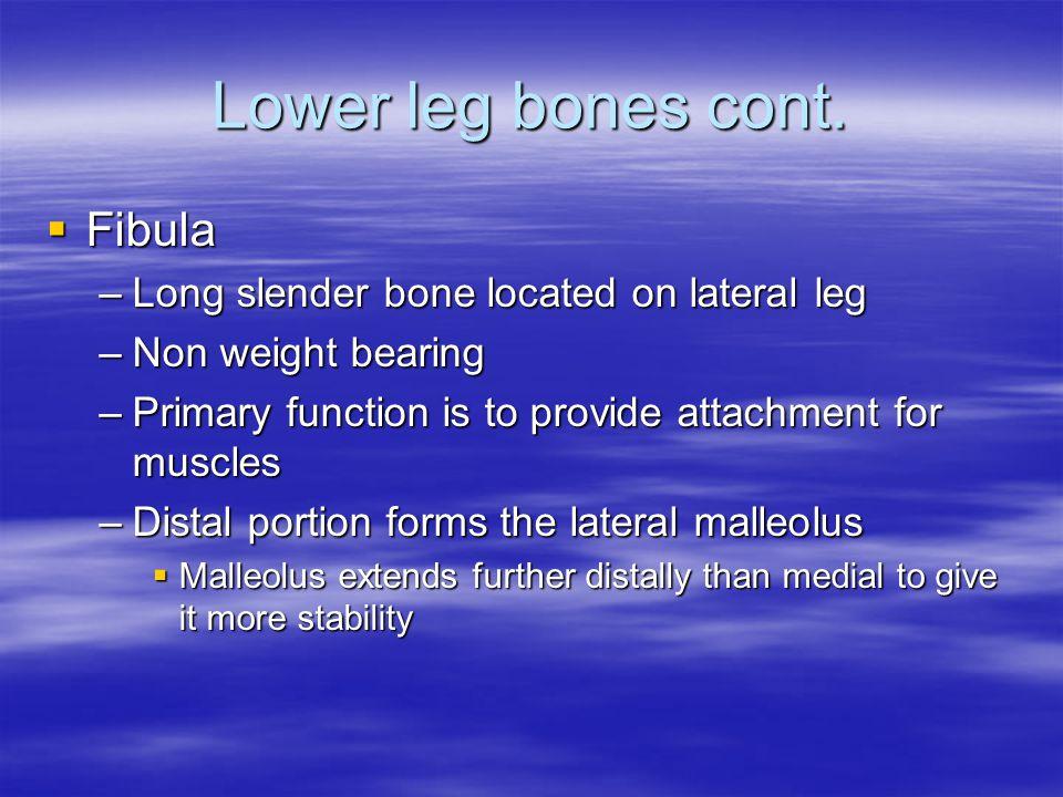 Lower leg bones cont. Fibula Long slender bone located on lateral leg