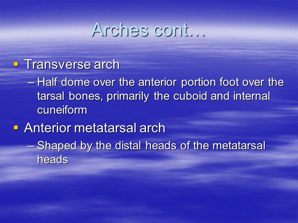 Arches cont… Transverse arch Anterior metatarsal arch