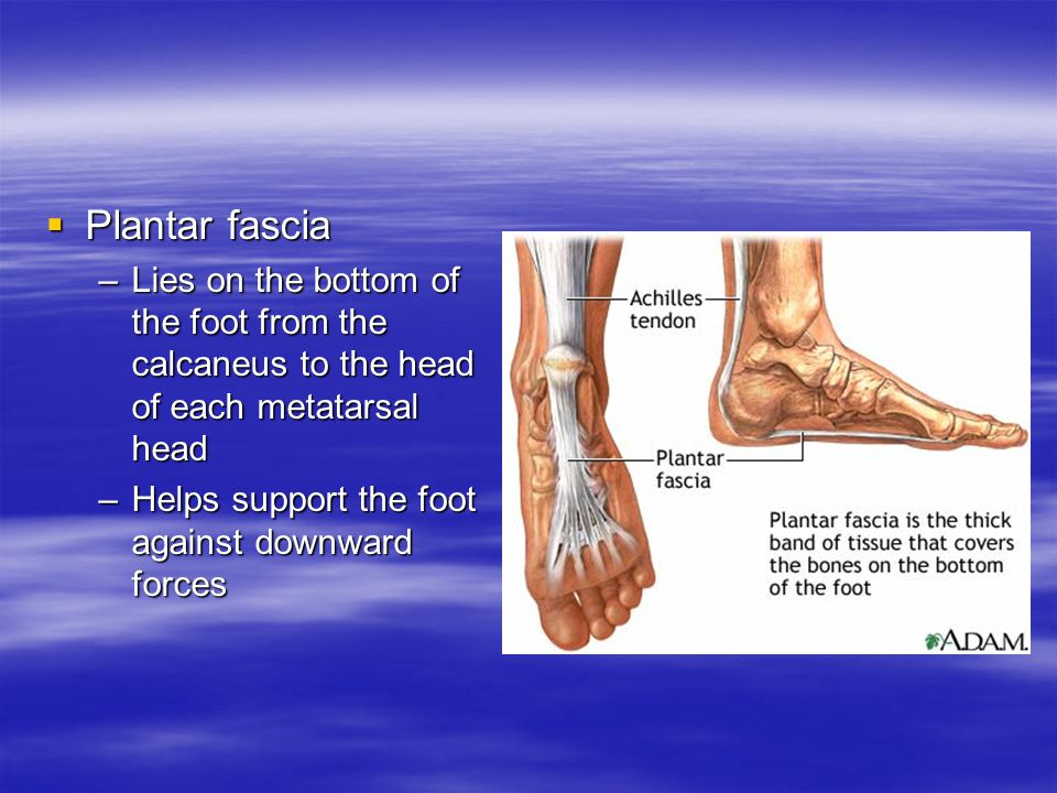 Plantar fascia Lies on the bottom of the foot from the calcaneus to the head of each metatarsal head.
